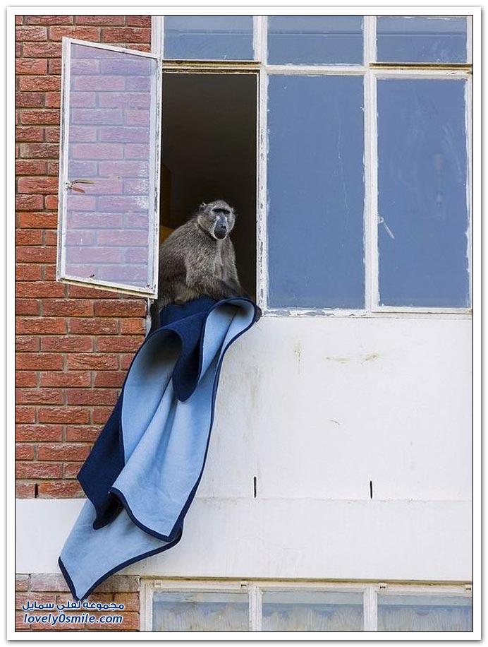 هجوم القرود على مبنى سكني في جنوب أفريقيا