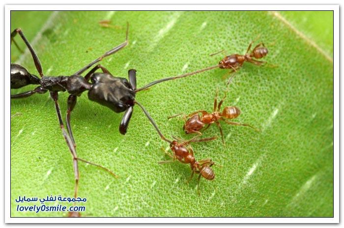 أكثر معارك النمل هي معارك مع نمل من فصائل أخرى
