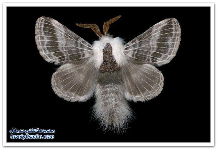 صور لأشكال الفراشات الغريبة