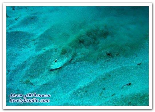 سمكة البخاخ تنحت الدائرة لحماية بيضها