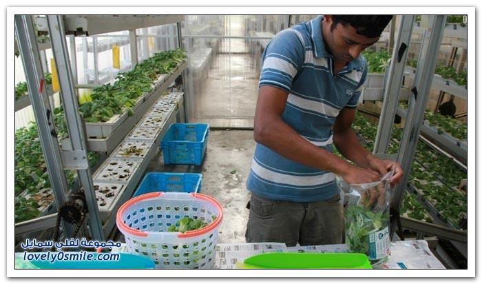 المزارع العمودية في سنغافورة