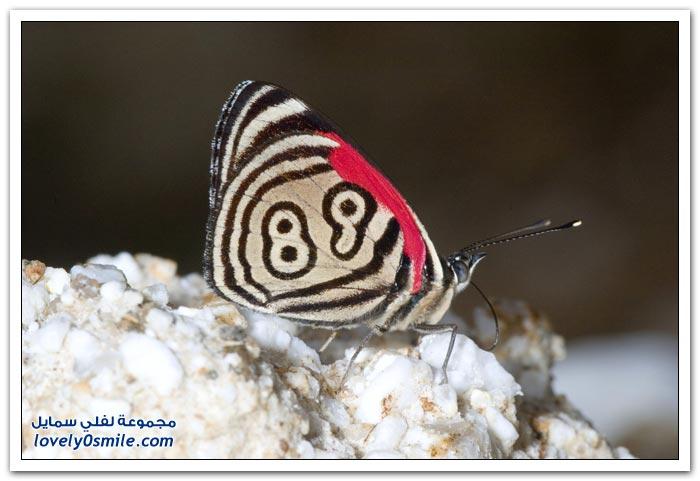 فراشة مكتوب على جناحيها 89 وأحيانا 88 سبحان الخلاق