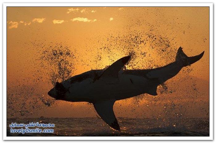 صور لقفزة سمك القرش مع شروق الشمس