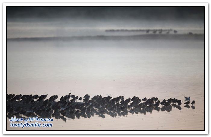 محمية الطيور Snettisham في المملكة المتحدة