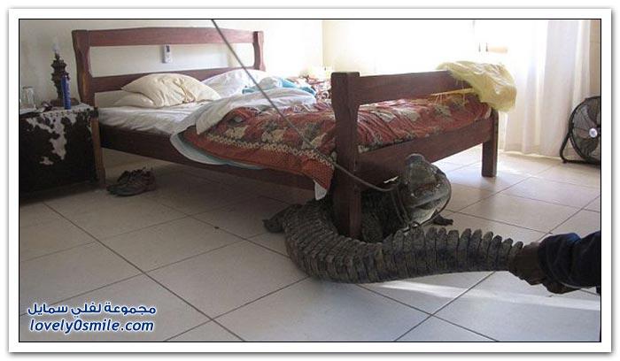 تمساح في غرفة نوم في زيمبابوي