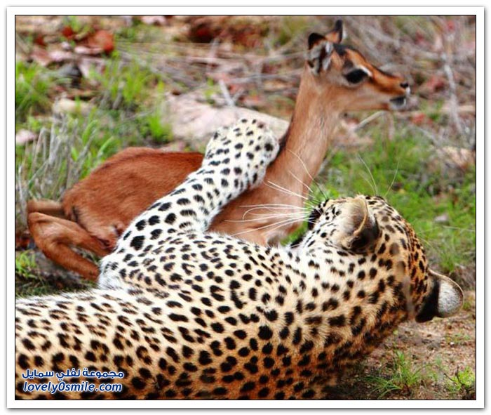 حيوان الفهد والغزال .. الحنان القاتل