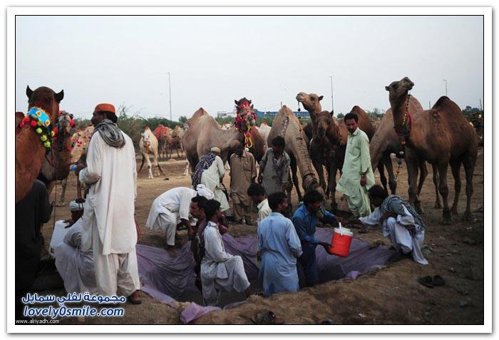 تزيين الإبل استعداداً للعيد