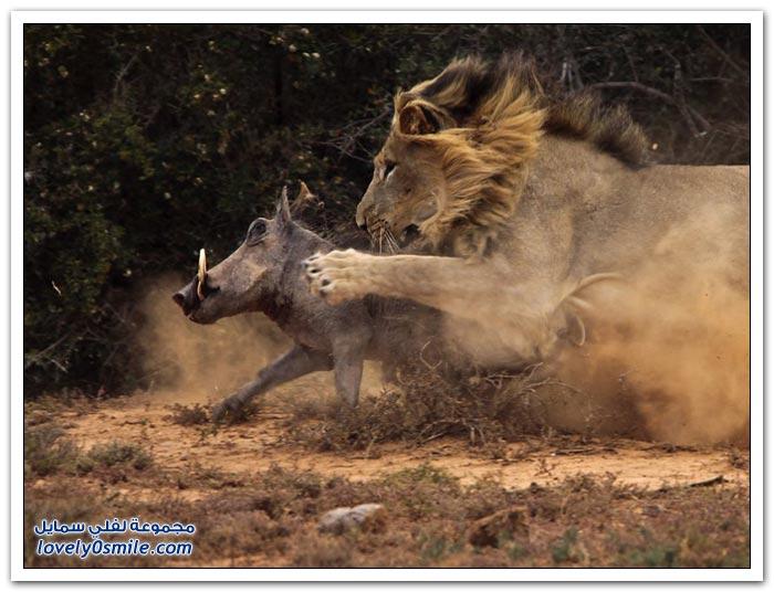 أسد يهجم على خنزير بري