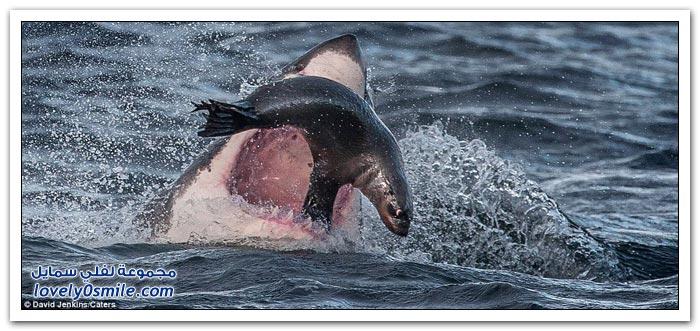 فقمة بين فكي سمكة قرش