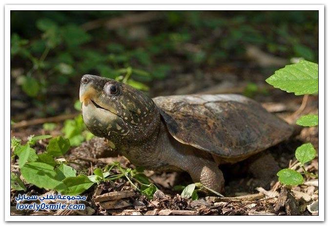 من أنواع السلاحف