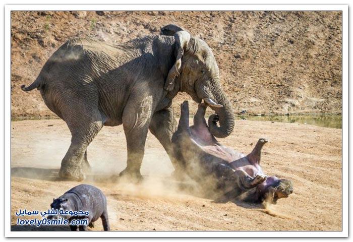 فيل غاضب يهاجم فرس النهر