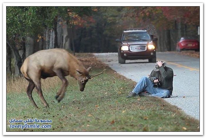 ظبي يهاجم مصور وينطحه في محمية أمريكية