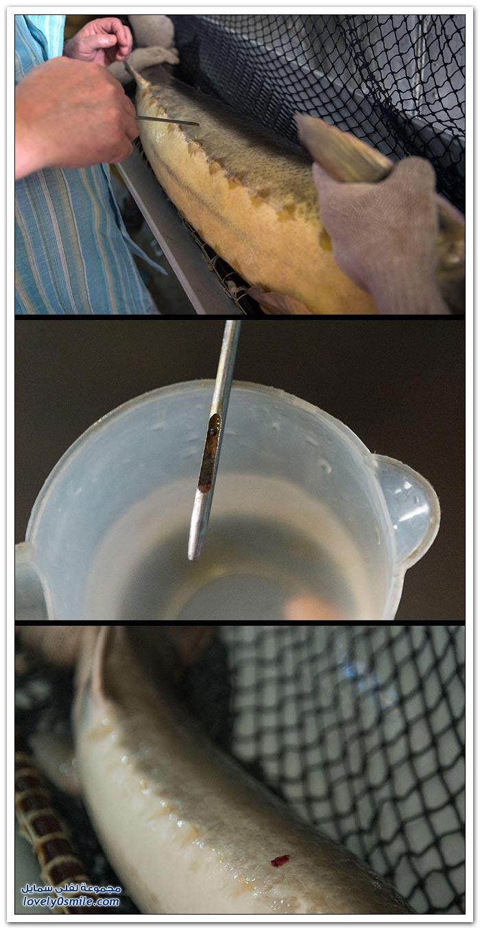 كيفية استخراج الكفيار الأسود