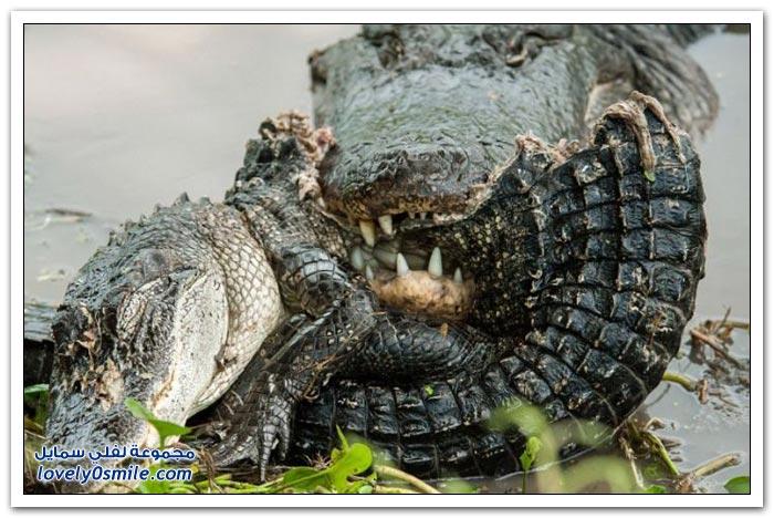 تمساح يأكل تمساح