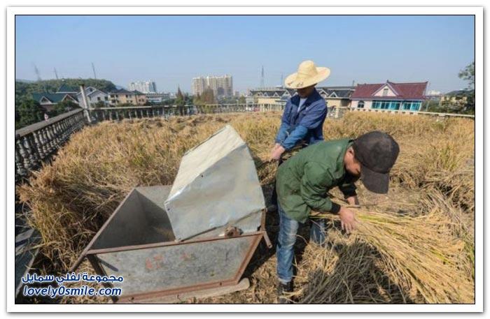 استخدام أسطح المباني السكنية لزراعة القمح والأرز في الصين