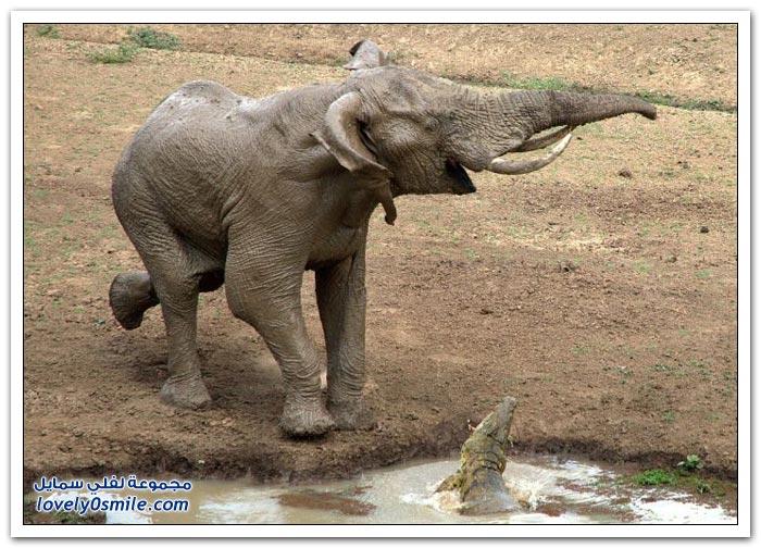تمساح كاد أن يقطع خرطوم فيل