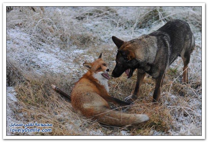 صداقة غريبة بين كلب وثعلب
