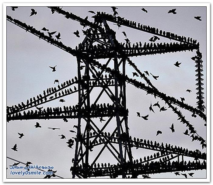 آلاف من طائر الزرزور على الحدود الاسكتلندية