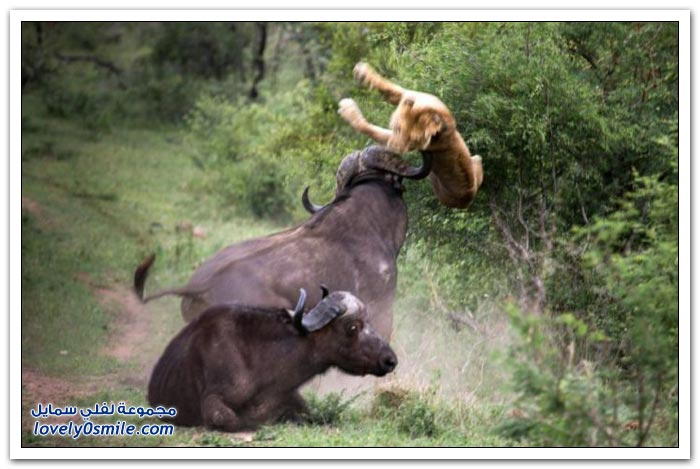 لبوة تهاجم جاموس ويتدخل جاموس أخر لإنقاذ صديقه