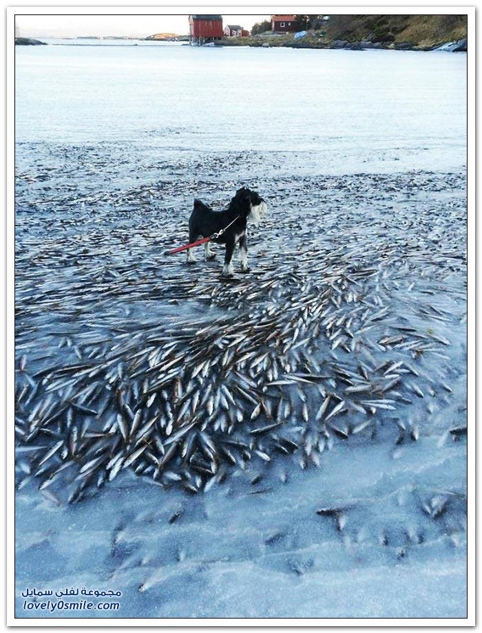موت ملايين الأسماك بسبب تجمد المياه قبالة سواحل النرويج