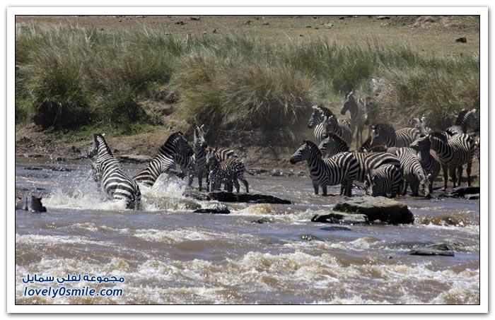 مأساة الحُمُرٌ الوحشية عند عبور نهر مارا في كينيا