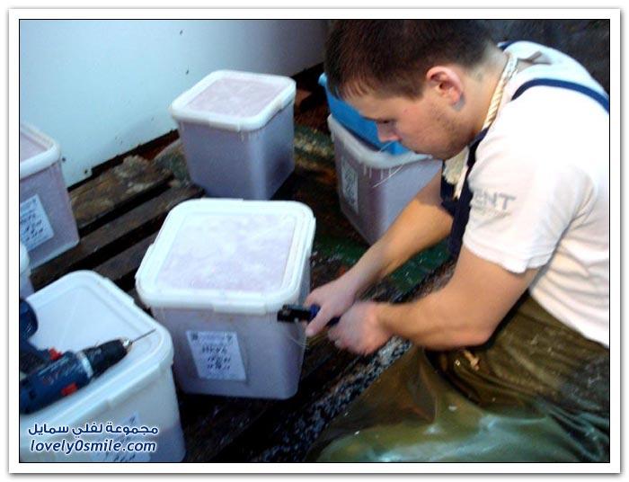 كيفية استخراج الكافيار الأحمر في روسيا