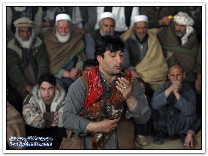 قتال الديكة في أفغانستان