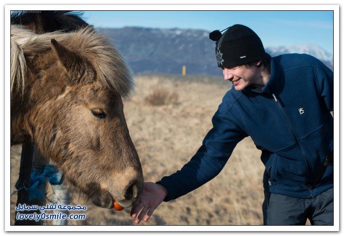 الخيول الأيسلندية