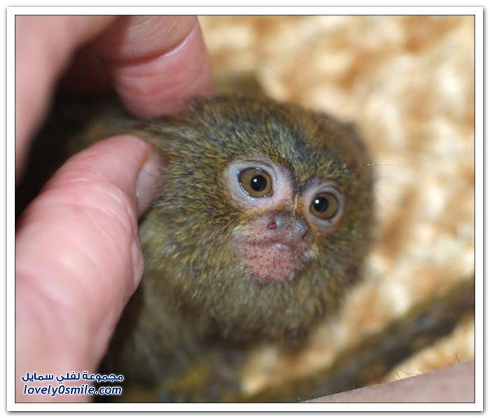 أصغر قرد في العالم