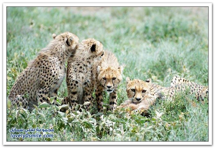 خرج من بطن أمه وفي انتظاره صغار حيوان الفهد