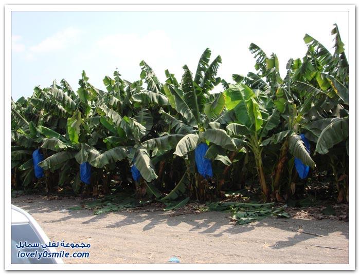 زراعة الموز في كوستاريكا