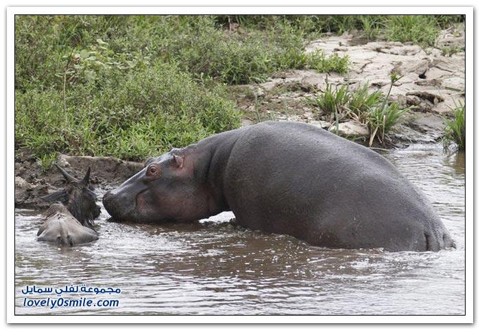 فرس نهر ينقذ ظبياً من الموت بعد مهاجمة تمساح له