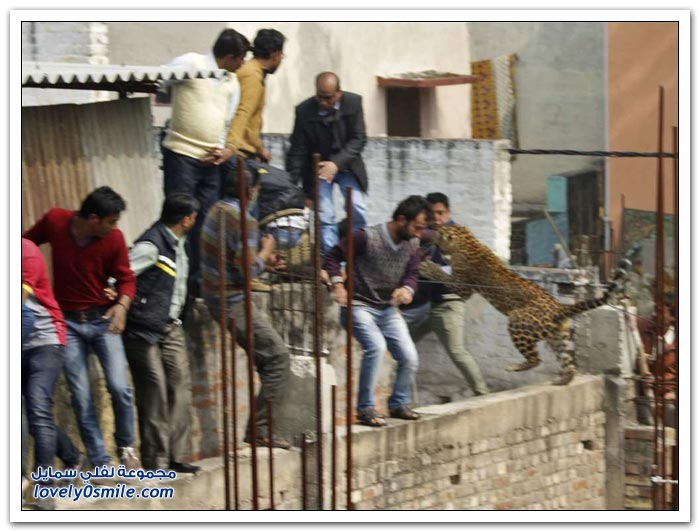 فهد يهاجم أحياء سكنية بمدينة ميروت الهندية