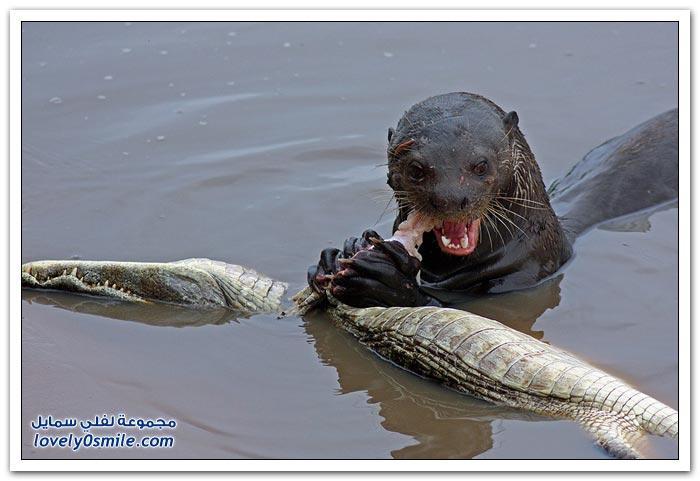 ثعلب الماء يقتل تمساح