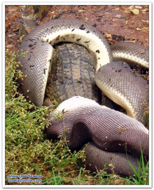 ثعبان يبتلع تمساح