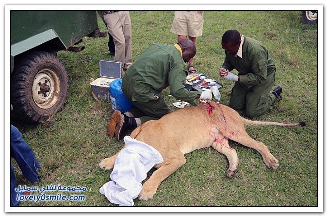 إنقاذ لبوة أصابها جاموس بجرح كبير