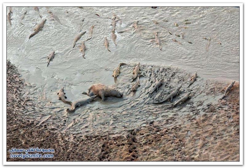 معركة دموية بين قطيع من التماسيح وأفراس النهر
