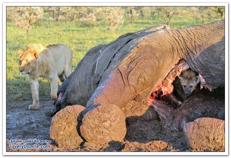 ضبع يختبئ من أسد جائع داخل جثة فيل