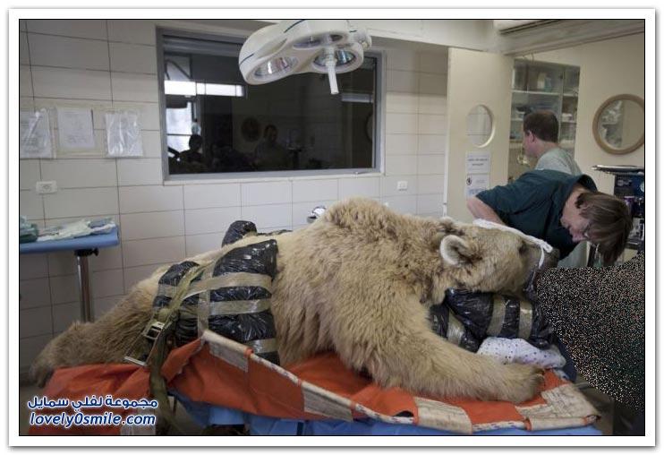 عملية جراحية لـ دب سوري بـ 150 ألف دولار