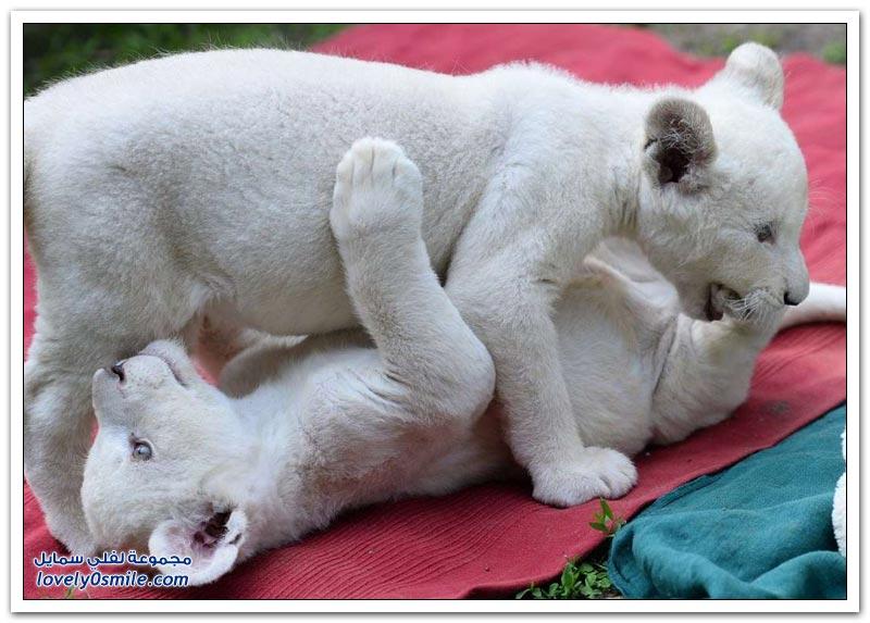 أشبال أسد أبيض في حديقة حيوان في المجر