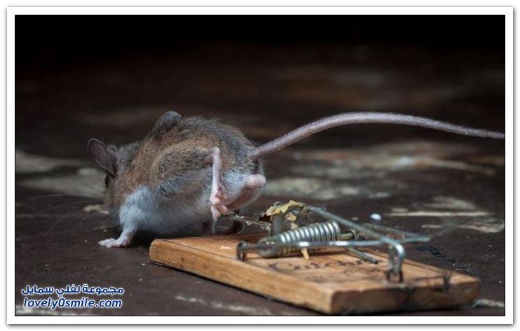 فوز الفأر على مصيدة الفئران