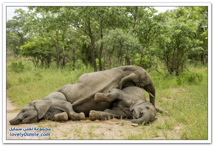 قطيع من الفيلة في حالة سكر
