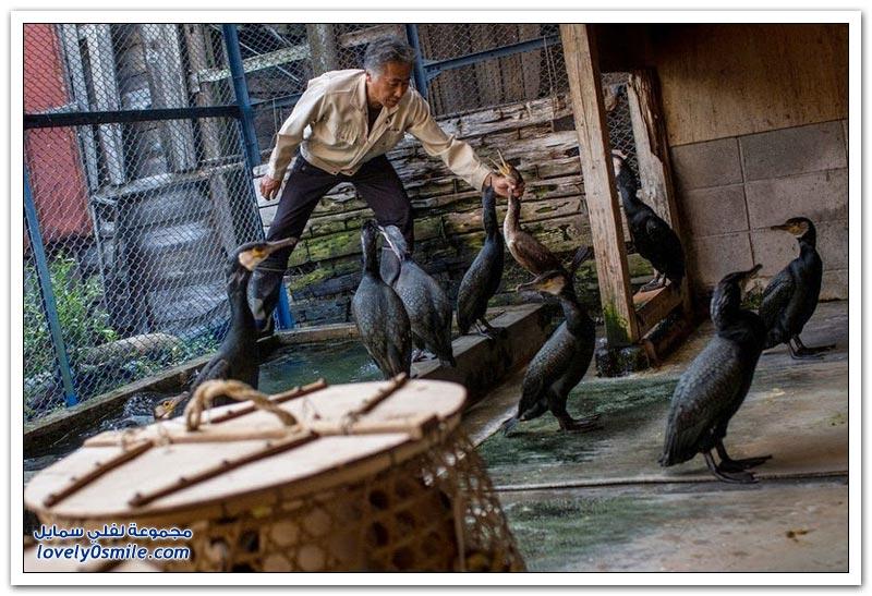 الصيد باستخدام الطيور في اليابان