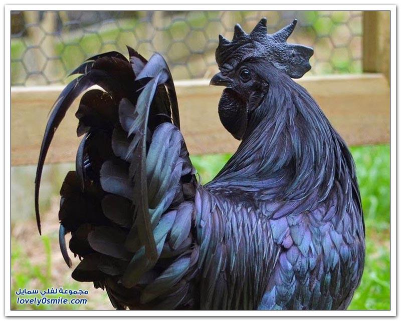 الدجاج الأسود.. الأغلى في العالم