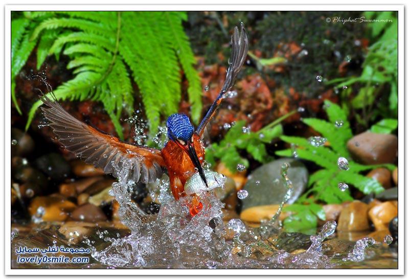صورة رائعة لطائر الرفراف