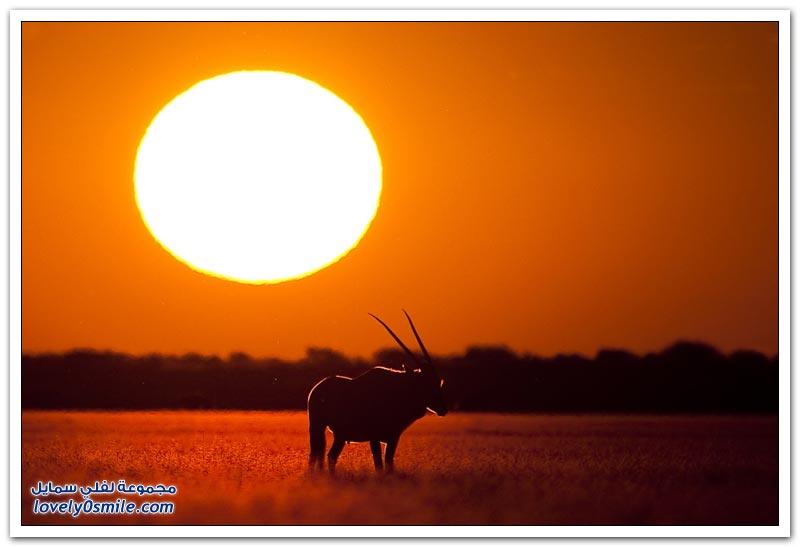 الحيوانات عند شروق الشمس وغروبها