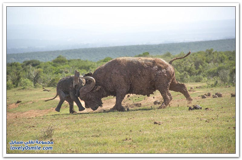جاموس بري ينطح صغير الفيل