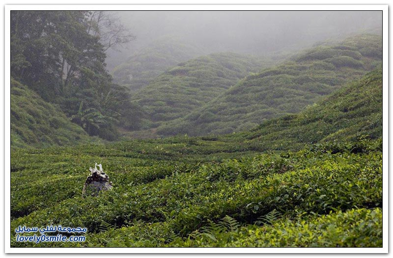 مزرعة شاي جبال كاميرون في ولاية باهانج الماليزية