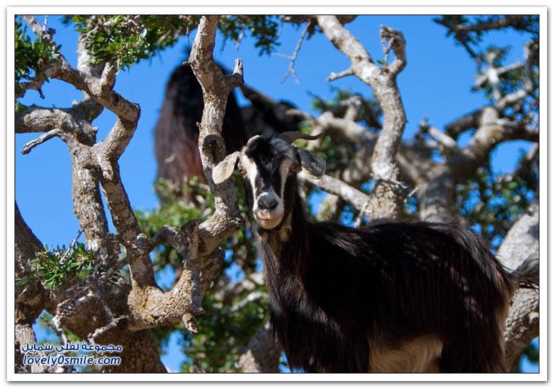 الماعز المتسلقة للشجر في المغرب