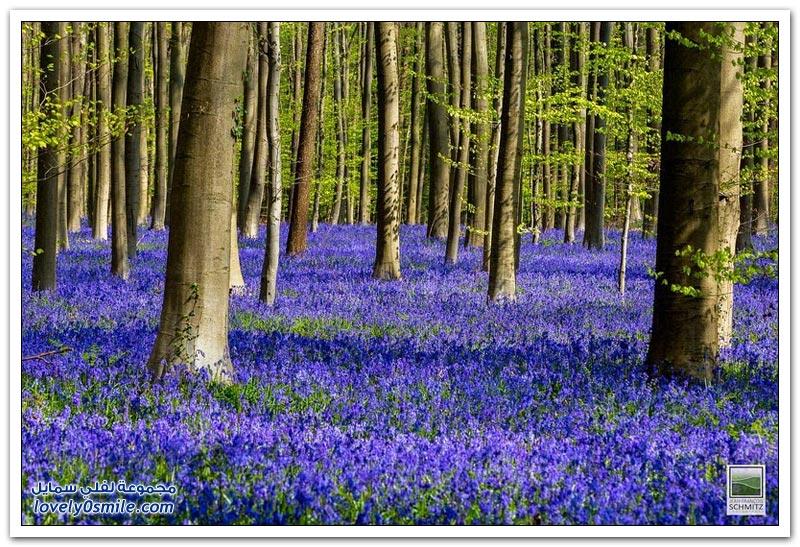 زهور البلابل المدهشة في غابات بلجيكا